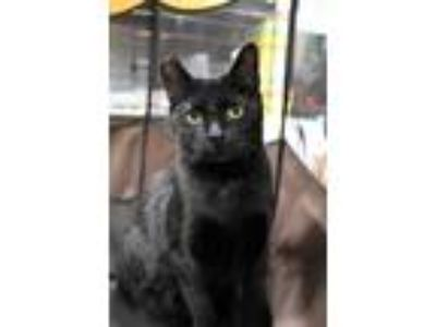 Adopt MissBillie a Black (Mostly) Domestic Shorthair (short coat) cat in