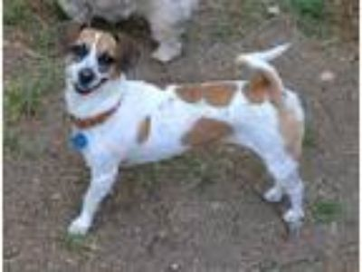 Adopt CARLY - Video to view a Tricolor (Tan/Brown & Black & White) Jack Russell