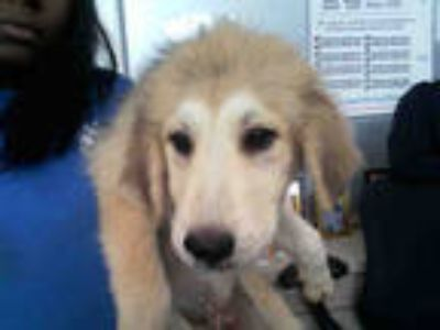 Adopt a Tan/Yellow/Fawn - with White Labrador Retriever / Great Pyrenees / Mixed