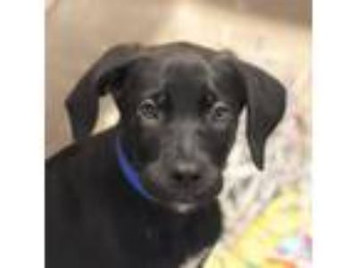 Adopt Hat a Black Retriever (Unknown Type) / Shepherd (Unknown Type) / Mixed dog