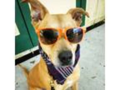Adopt Rango a Tan/Yellow/Fawn - with White Labrador Retriever / Black Mouth Cur