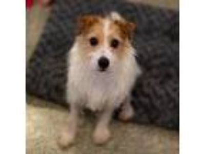 Adopt Robin a White Jack Russell Terrier / Mixed dog in Washington