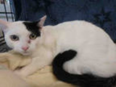Adopt DOMINO a White (Mostly) Domestic Shorthair / Mixed (short coat) cat in