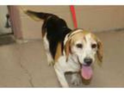 Adopt Annabelle a White Beagle / Mixed dog in Albany, OR (25450803)