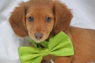 Dachshund PUPPY FOR SALE ADN-103778 - Beautiful Mini Doxie
