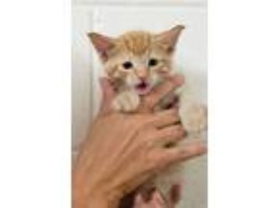Adopt Tiger Eye a Domestic Short Hair