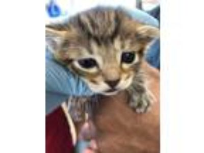 Adopt PEANUT a Brown Tabby Domestic Mediumhair / Mixed (medium coat) cat in San