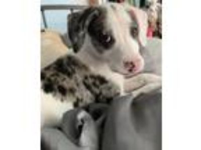 Adopt Piglet D4719 a Australian Cattle Dog / Blue Heeler, Labrador Retriever