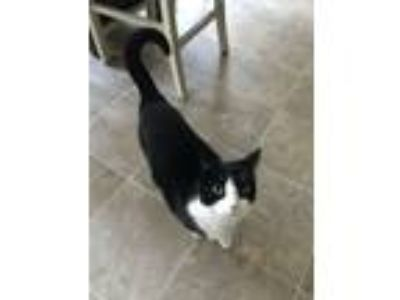 Adopt Luna a Black & White or Tuxedo Snowshoe / Mixed cat in Manheim