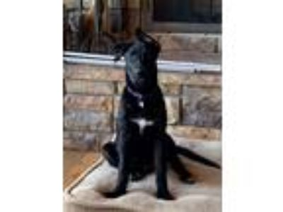 Adopt Bri a Black - with White German Shepherd Dog / Labrador Retriever dog in