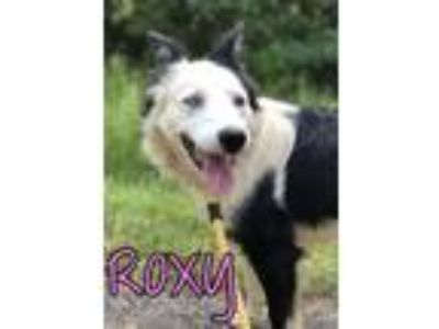 Adopt Roxy a Border Collie