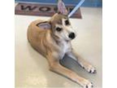 Adopt Remy a Tan/Yellow/Fawn Mixed Breed (Medium) / Mixed dog in New Iberia