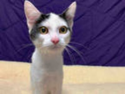 Adopt SHERAH a White (Mostly) Domestic Shorthair / Mixed (short coat) cat in San