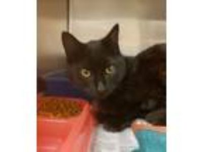 Adopt Gerald (w market) a Domestic Short Hair