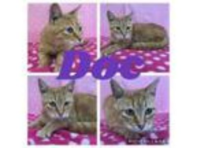 Adopt Doc a Domestic Short Hair
