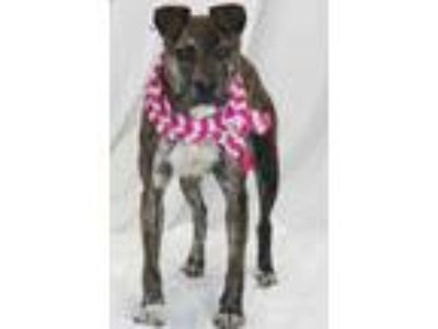 Adopt Abigail a Brindle American Pit Bull Terrier / Mixed dog in Greenville