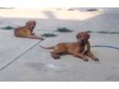 Adopt Ronnie (F) and Archie a Red/Golden/Orange/Chestnut - with White Redbone