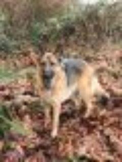 Uta German Shepherd Dog Dog