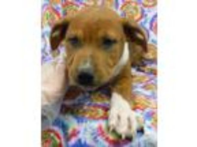 Adopt Benson a Brown/Chocolate American Pit Bull Terrier / Mixed dog in Morton