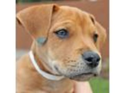 Adopt Dillon a Vizsla / Labrador Retriever / Mixed dog in Walnut Creek