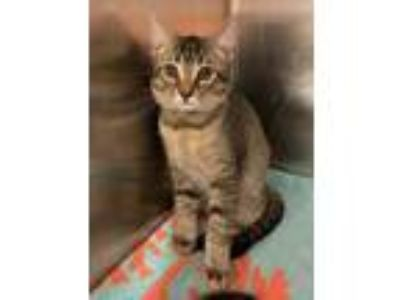 Adopt Maurice a Gray or Blue Domestic Shorthair / Domestic Shorthair / Mixed cat
