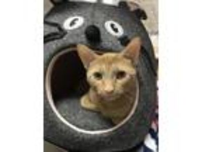 Adopt Paloma a Domestic Short Hair