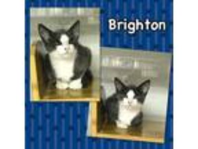 Adopt Brighton a Gray or Blue (Mostly) Domestic Shorthair (short coat) cat in