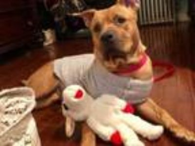Adopt Mama Maple a Shar-Pei, American Staffordshire Terrier