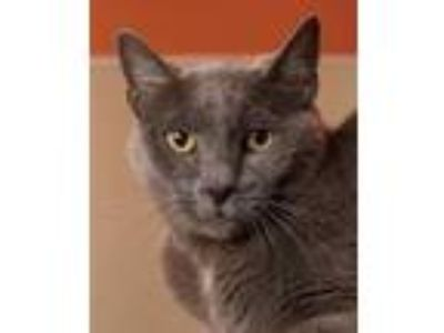 Adopt EARL GREY a Russian Blue