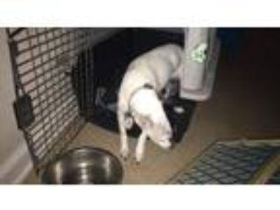 Adopt Allie a Black - with White Rat Terrier dog in Decatur, IL (25304385)