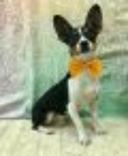 RADAR Corgi - Rat Terrier Dog
