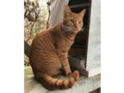 Adopt Redd a Orange or Red Domestic Shorthair / Mixed (short coat) cat in