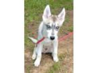 Adopt Jacy a Gray/Silver/Salt & Pepper - with White Siberian Husky / Mixed dog