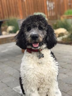 Labradoodle - six months old