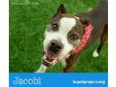 Adopt Jacobi a Brown/Chocolate American Pit Bull Terrier / Mixed dog in Kansas