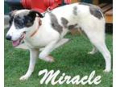 Adopt Miracle a Shepherd