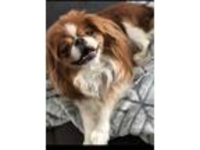Adopt Cash a Japanese Chin