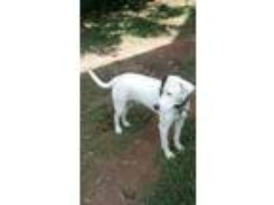 Adopt Charlie a White - with Black Labrador Retriever / Rottweiler / Mixed dog