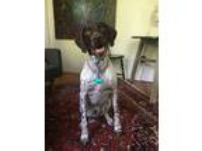 Adopt Gunner a German Shorthaired Pointer