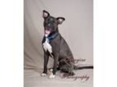 Adopt Albus a Black - with White Pit Bull Terrier / Labrador Retriever / Mixed