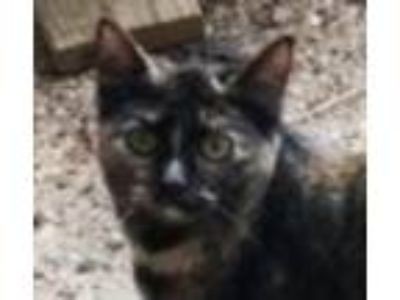 Adopt Spice a Tortoiseshell Domestic Shorthair / Mixed (short coat) cat in