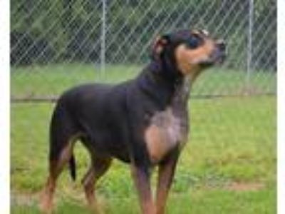 Adopt Alice a Rottweiler, Bull Terrier