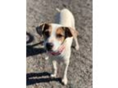 Adopt Draco a Jack Russell Terrier
