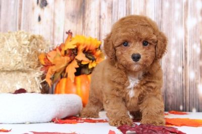 Poodle (Miniature) PUPPY FOR SALE ADN-98775 - Murphy Charming Red Male Poodle Puppy