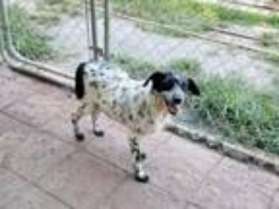 Adopt Gypsy a Australian Cattle Dog / Blue Heeler, Terrier