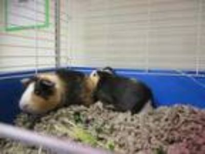 Adopt Elmo a Brown or Chocolate Guinea Pig / Guinea Pig / Mixed small animal in