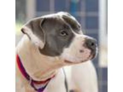 Adopt Mina-Benchwarmer a Pit Bull Terrier, Mixed Breed