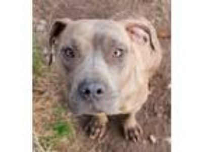 Adopt Tulip a Pit Bull Terrier / Mixed dog in Memphis, TN (14939067)