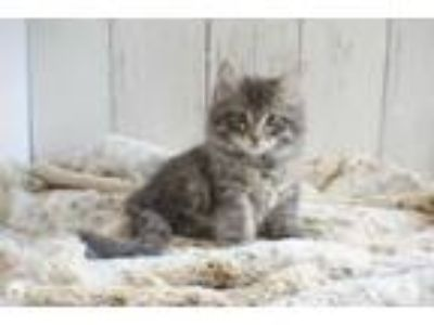 Adopt Scotch a Domestic Medium Hair, Tabby
