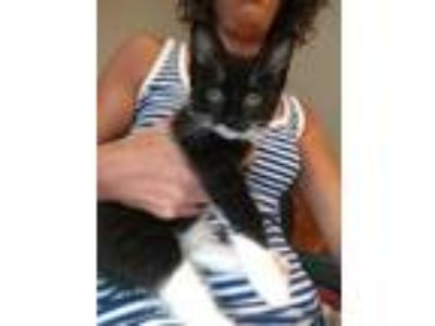 Adopt Savannah a All Black Domestic Shorthair / Domestic Shorthair / Mixed cat